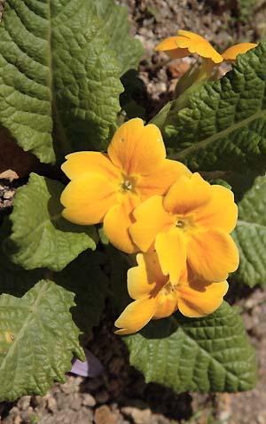 黄色い花をつけたプリムラ・ポリアンサス